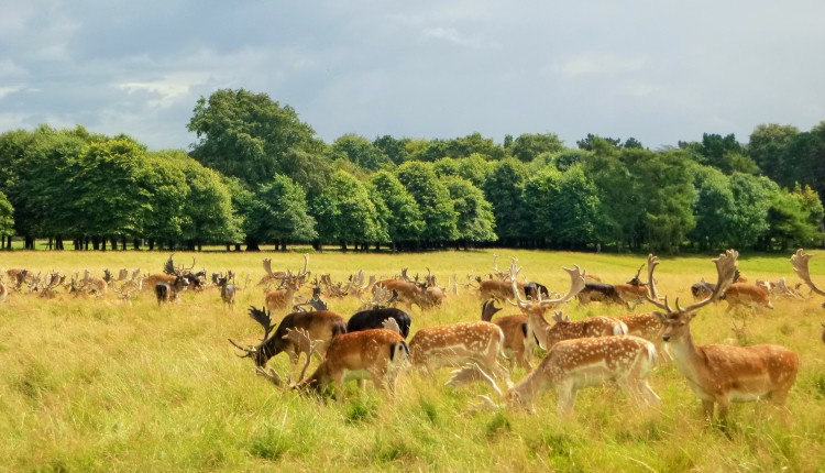 A million and a half deer in Phoenix Park plotting how to take out runners