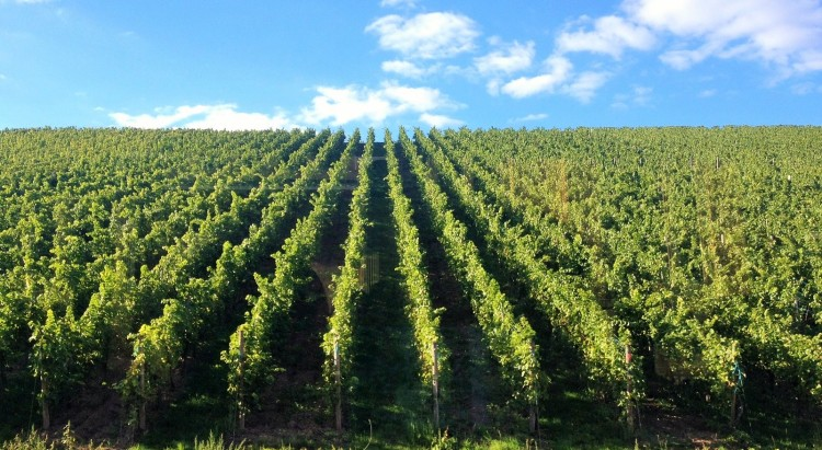 A vineyard, in case you didn't know what they looked like!